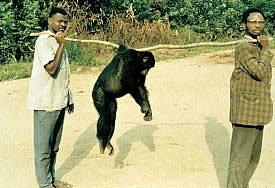 chimpance para la venta